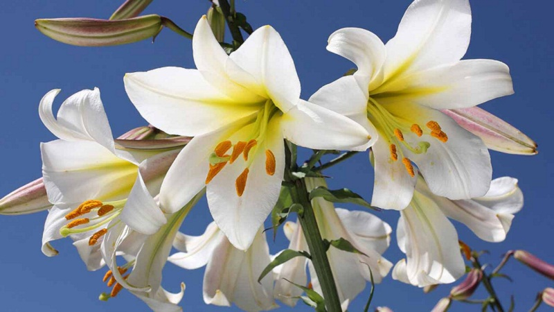 Lily Love How To Grow Lilies Video
